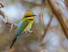 Rainbow bee eater (Mykel46) Tags: 2xtele 500mmf4 5dmk4 canon wildlife nature birds bee beeater rainbow tailembend southaustralia australia au blue red