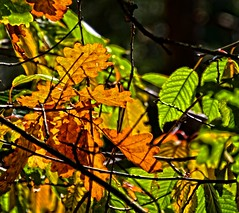 Autumn colors (Tobi_2008) Tags: herbst autumn bltter leaves farbe color natur nature wald forest sachsen saxony deutschland germany allemagne