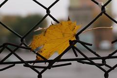 023A3137 (mkamelg) Tags: canon eos 5ds zeiss 1450 planar planart1450 t carl outdoor autumn fall leaf