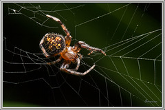 Araa - Spider (J. Amorin) Tags: araa spider macro canon10028macro canon7d amorin macuspana tabasco