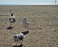 Sand & Vision (Robert S. Photography) Tags: gulls beach sand coneyisland sun nikon coolpix l340 iso80 nyc october 2016
