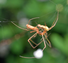 Spiders do it head to head (conall..) Tags: 120616 tetragnathidae mate male female palp epigyne macro raynox