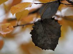 Fondant on apricot (nikjanssen) Tags: fondant apricot bokeh autumn herfst