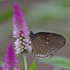 2016.06.29.055 HONFLEUR - Natrurospace - papillon (alainmichot93 (Bonjour à tous - Hello everyone)) Tags: 2016 france normandie seinemaritime honfleur naturospace fleur papillon insecte nikon animal butterfly ngc