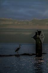 _MG_1486 (White Balance Imaging Photography) Tags: beachocean birds fauna greatblueheron nature oceanview places sunrise weather