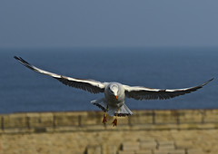 'Undercarriage down, flaps down' (Paul F Gannon) Tags: naturethroughthelens