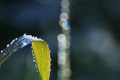 Frozen 06 (cees van gastel) Tags: ceesvangastel canoneos550d frozen bevroren druppels drops plants vegetation vegetatie planten winter nature natuur waterdonkernbreda breda tamron70300mm