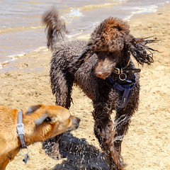 The romp (2) (geemuses) Tags: bayviewpark dogpark bayview monavale dogs dog canine walkingthedog exercise running sprinting playing sydney sydneyharbour northernbeaches