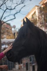 (anto291) Tags: cavallo cagnessurmer châtaigne fêtedelachâtaigne festadellacastagna castagna