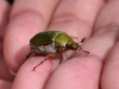 Xylonichus beetle (dracophylla) Tags: tasmania mroad scarabbeetle scarabaeidae xylonichus