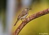 Silver-eared Honeyeater (Lichmera alboauricularis) (Greg Miles) Tags: lichmeraalboauricularis silverearedhoneyeater alotau milnebay papuanewguinea
