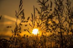 Dawnstar (Huỳnh Anh Kiệt) Tags: grass sunrise dawnstar sunshine kietbull amaranth fortune sleeping sun nightwish