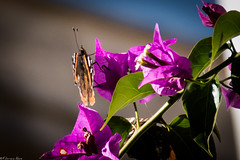 The Butterfly rest (Fabrizio Aloisi) Tags: animals farfalla butterfly rest riposo sole bouganville