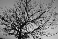 corvus .. (nevil zaveri (thank you for 10 million+ views :)) Tags: zaveri nature landscape khejari tree trees thar desert rajasthan india images stockimages nevil nevilzaveri stock photo khuri rural village monochrome blackandwhite bw crow birds animals