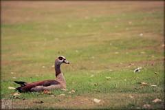 Egyptian Goose (Luke Hermans) Tags: nijlgans nijl gans nile egyptian goose den haag westbroekpark west broek park hague nature natuur birds vogels eenden ganzen eend