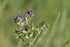 Fleurs des champs (Kaya.paca) Tags: fleurs flowers profondeurdechamps nature couleurs colors lumire light hautesalpes france