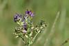 Fleurs des champs (Kaya.paca) Tags: fleurs flowers profondeurdechamps nature couleurs colors lumière light hautesalpes france
