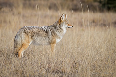 Prairie Coyote (Turk Images) Tags: aspenparkland canislatrans jaspernationalpark montane woodsmountain parksprairie coyote transition zone alberta canidae mammals fall mountains woodlands