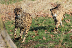 04032013 EOS 1100D - Gupards (Marie Dupraz) Tags: flin gupards cheetahs