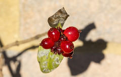 Shadow (nicklucas2) Tags: shadow berry honeysuckle