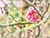 November Rose (Silke Klimesch) Tags: november pink grün dornen thistles rose rosa róża espina espinho spina cierń green olympus omd em5 zuikoommcautosf14 rosachoque fucsia róż rosevif depthoffield dof