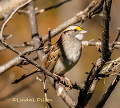 White-throated Sparrow (Lindell Dillon) Tags: whitethroatedsparrow nature oklahoma lindelldillon tamron