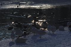 Tervuren.Belgium (Natali Antonovich) Tags: tervuren belgium belgie belgique winter snow frost nature park birds christmasholidays christmas water