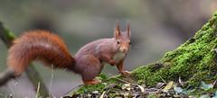 mon pote au 300mm (guiguid45) Tags: nature sauvage animaux mammifres fort loiret d810 nikon 300mmf28 cureuil eurasianredsquirrel cureuilroux squirrel