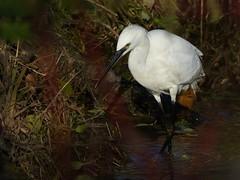 Little Egret (ukstormchaser (A.k.a The Bug Whisperer)) Tags: little egret egrets uk birds animals wildlife milton keynes brook water morning november