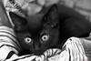 these eyes (leaving-the-moon) Tags: 2016 201606 animals black blackandwhite cat haustier katze katzen pet rohan schwarz kitten