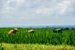 Arrozales de Jatiluwith (fns-k) Tags: agricultor agricultura arroz asia campo campos cereales espaa europa gusto indonesia islasbaleares mallorca sentidos