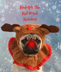 Rudolph The Red Nosed Reindeer Pug (DaPuglet) Tags: pug puppy christmas dog holiday reindeer rudolph pets animals boothepug dapuglet funny cute pugs dogs animal rednose greeting card lol hat antlers pet yearofholidays