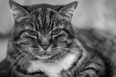 337/366: It's been a while... (judi may) Tags: 366the2016edition 3662016 day337366 2dec16 cat feline tabby tabbycat whiskers podge portrait petportrait blackandwhite monochrome mono canon7d