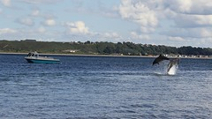 Dolphins Jumping, Scotland. (Seckington Images) Tags: dolphin scotland jumping flickr wildlife