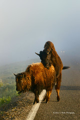 What's A Girl To Do But Point and Shoot! (Aspenbreeze) Tags: morning mist fog rural buffalo wildlife yellowstone wyoming bison yellowstonenationalpart wyomingwildlife yellowstonewildlife aspenbreeze moonandbackphotography bevzuerlein