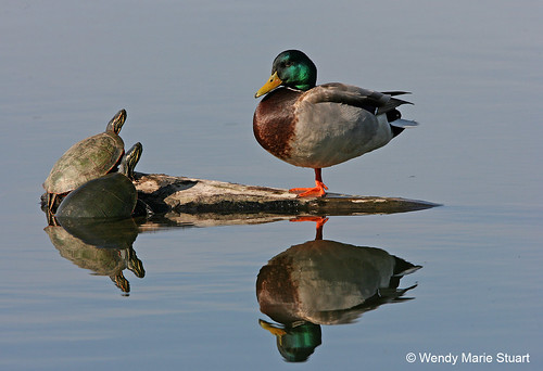 Photo - Ancient Companions - Mallard duck and two turtles at Sawhill Ponds