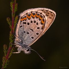 Silver-Studded Blue butterfly (m) (Deviant Light) Tags: blue silver butterfly suffolk ipswich studded plebejusargus