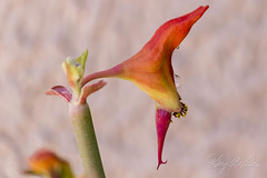 Euphorbia tirucalli (Sugardxn) Tags: red arizona orange blur tree yellow pencil photoshop garden succulent tucson az bloom euphorbia tirucalli firestick nakedlady saddlebrooke milkbush indiantreespurge sugardxn garypentin