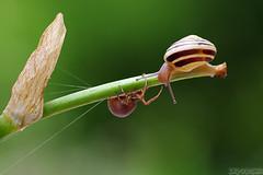 Friend or Foe? (Vie Lipowski) Tags: nature spider wildlife snail crabspider detritivore