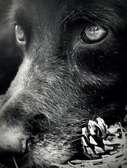 It's the eyes that got me... (FriaLOve) Tags: summer bw dog pet black macro cute love nature animal finland nose eyes cone sony snout ruovesi sonya300 frialove donikasadikuphotography