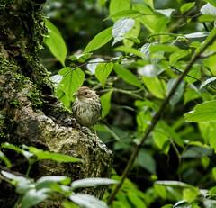 Puff-throated Babbler (Navaneeth K N) Tags: india birds bangalore karnataka babbler