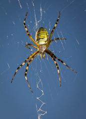 Argiope bruennichi (female) (yaluke) Tags: macro animal female spider outdoor arachnida argiope araneae argiopebruennichi araneidae waspspider stabilimentum tygrzykpaskowany