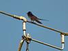 Bird On Wire (pogmomadra) Tags: blue sky bird electric wire finepix monday swallow hirundorustica onblue bluemonday hs30 happymondayblues mondayblue hs30exr fujifinepixhs30exr