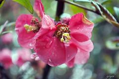 Flor (gegerville) Tags: chile santafe lluvia flor campo gota biobio lavictoria 18septiembre fiestaspatrias