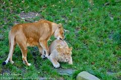Afrikaanse leeuw - Panthera leo leo - African Lion (MrTDiddy) Tags: cat mammal zoo cub big kat feline leo african lion bigcat antwerp antwerpen zooantwerpen grote nestor leeuw panthera manen manes zoogdier welp afrikaanse grotekat maouli