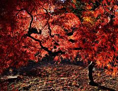 Japanese Maple (hbp_pix) Tags: autumn red cemetery japanese maple mt auburn foliage hbppix