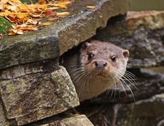 European Otter  (Lutra lutra lutra) (Dave N Roach) Tags: europeanotter lutralutralutra highlandwildlifeparkkingcraiginvernessshirescotland