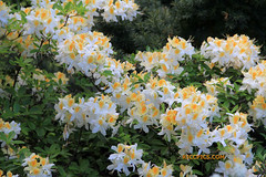 Rhododendron 104 (riccpics) Tags: trees fleurs garden botanical bush jardin arbres bloom botanique arbustre