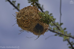 nido di Uccello Tessitore, Weaver's nest (paolo.gislimberti@gmail.com) Tags: birds uccelli animalarchitecture architetturaanimale