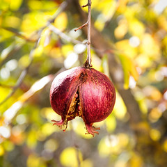 Rajada (oZopanda - David Cvico) Tags: nature frutas fruits spain nikon andalucia granadas d600